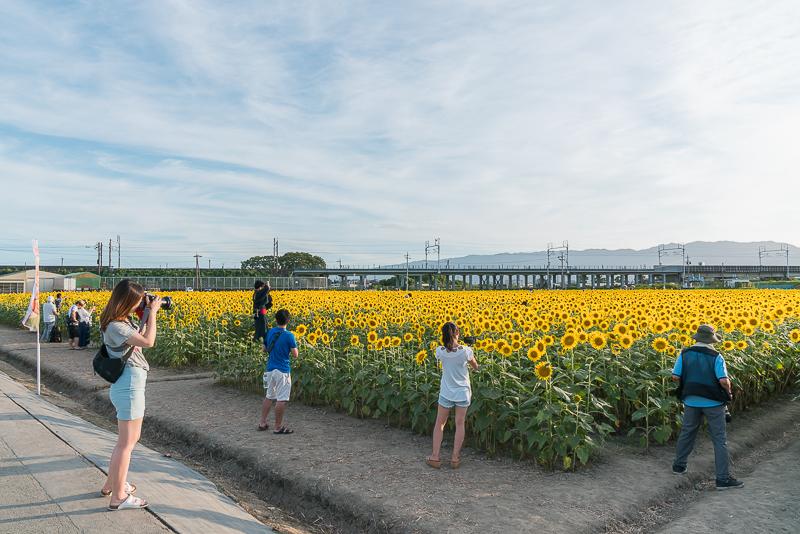 大垣ひまわり畑(平町)2