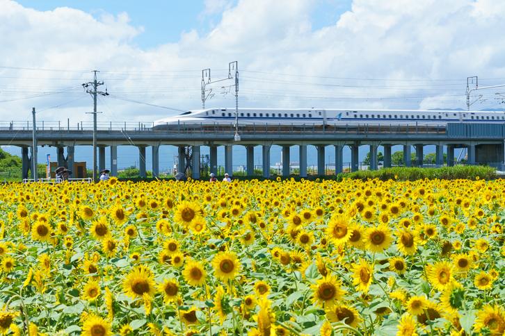 大垣ひまわり畑(平町)4
