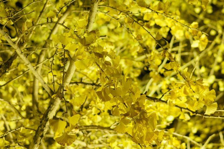 愛知県稲沢市の「そぶえイチョウ黄葉まつり」に行ってきました!祐専寺及び周辺