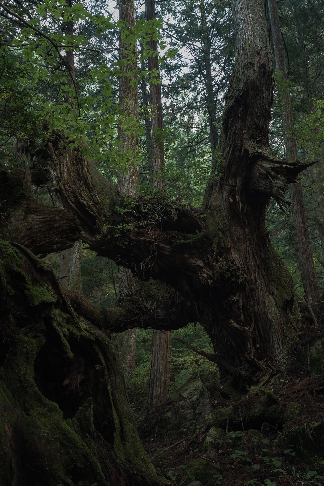 株杉の森(21世紀の森公園)3