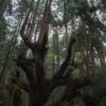 株杉の森(21世紀の森公園)7