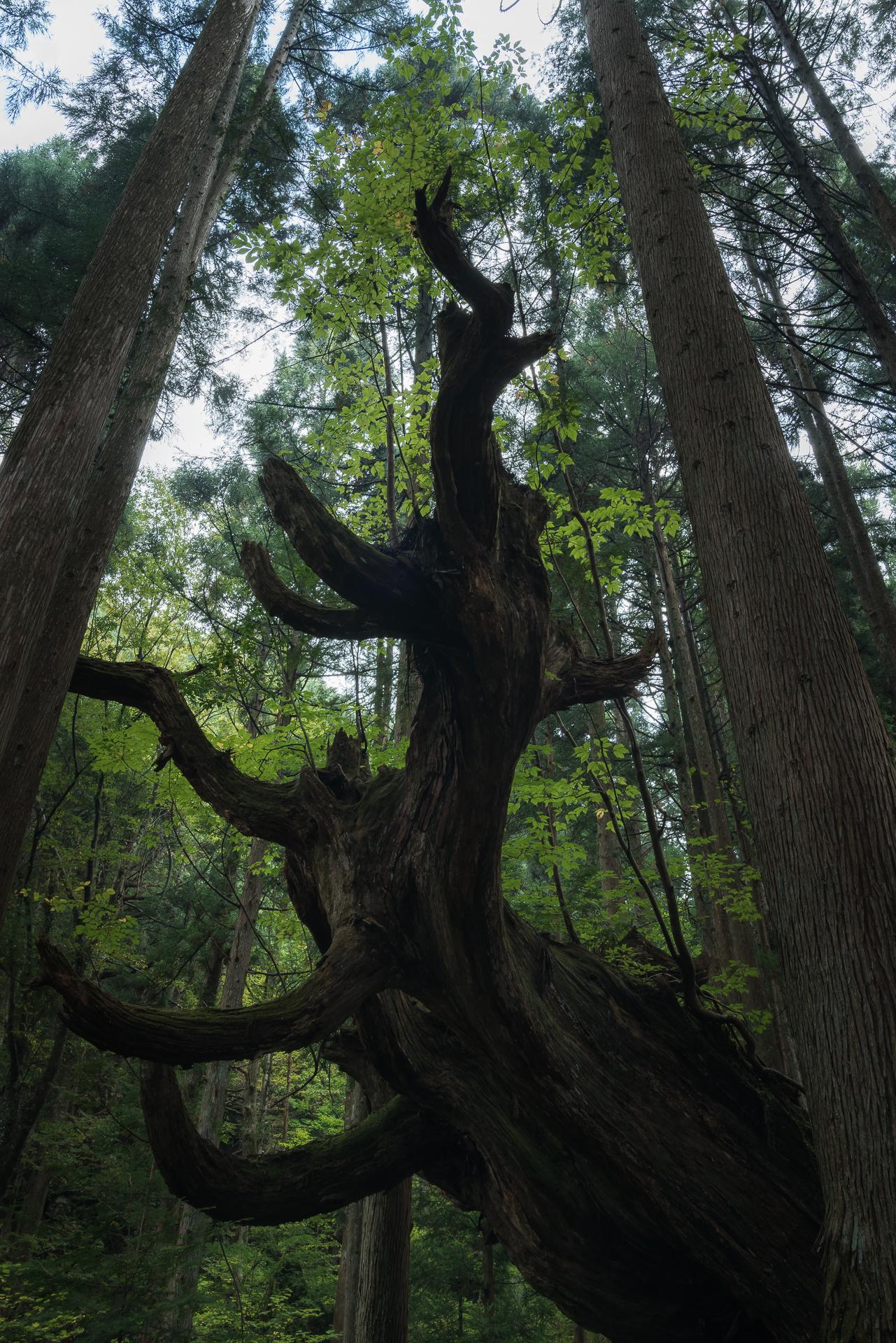 株杉の森(21世紀の森公園)9