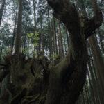 株杉の森(21世紀の森公園)6