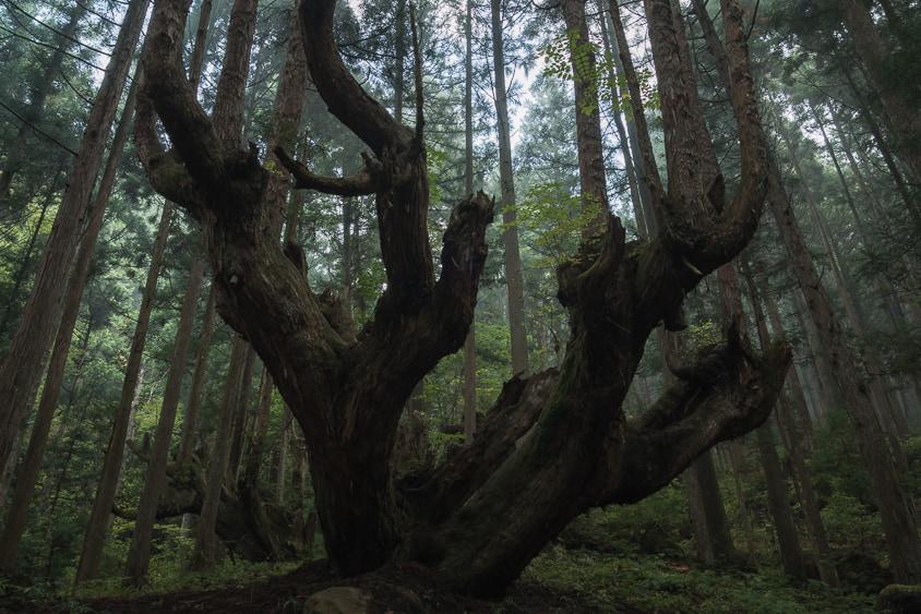株杉の森(21世紀の森公園)