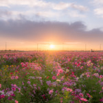 岐阜県「羽島市いちのえだ田園コスモス畑2019」の行き方と撮影スポット
