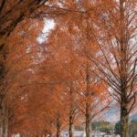 マキノ高原のメタセコイア並木16