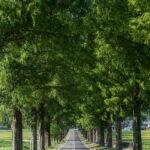 マキノ高原のメタセコイア並木9