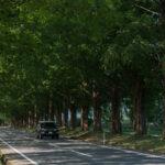 マキノ高原のメタセコイア並木10