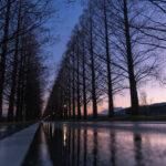 マキノ高原のメタセコイア並木1