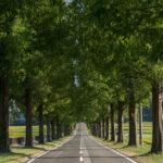 マキノ高原のメタセコイア並木8