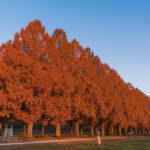 滋賀県高島市メタセコイア並木11
