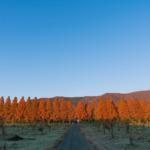 マキノ高原のメタセコイア並木12