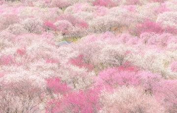 三重県いなべ市「梅林公園(梅まつり)」の行き方と撮影スポット