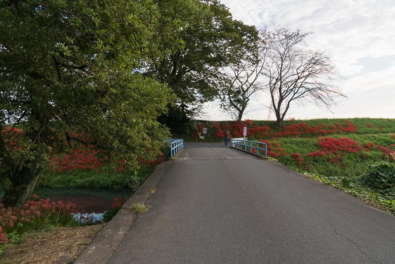 津屋川堤防の彼岸花 注意