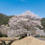 淡墨桜(美杉町竹原)1