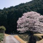 淡墨桜(美杉町竹原)4