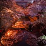 水門川(夜桜)1
